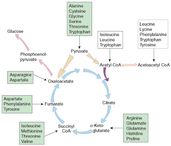 Synthesis of glucose from amino acids compare respiration and photosynthesis according to organelles
