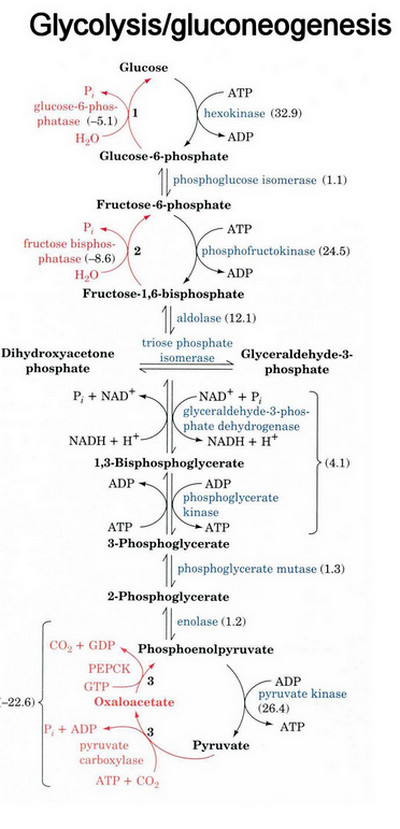 a description of glucose as the primary fuel used in glycolysis While glycolysis is the primary fuel process for some organisms that do not require oxygen, such as yeast, aerobic organisms can only gain a small portion of their needed energy from this process glycolysis occurs in two major stages, the first of which is the conversion of the various sugars to a common intermediate, glucose-6-phosphate.