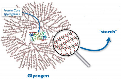 Glycogenesis - Definition, Pathway, Steps and Regulation ...
