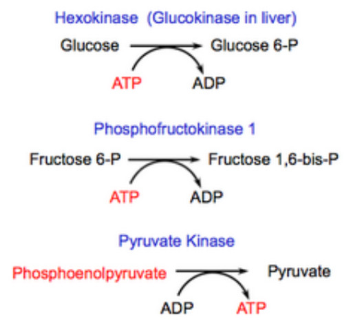 Regulating Steps of Glycolysis
