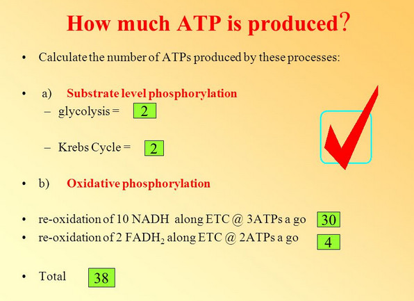 atps nadh glycolysis krebs