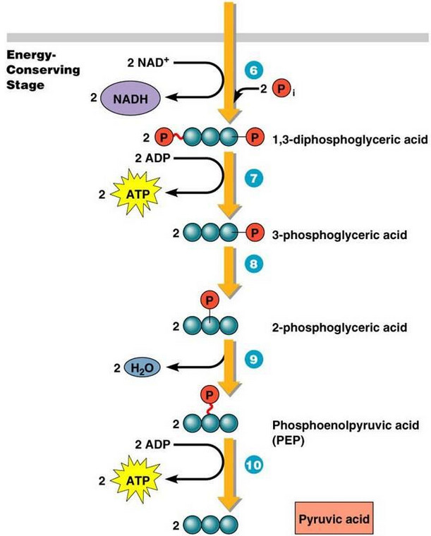 glycolysis atp flow chart
