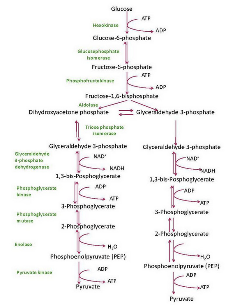 glycolysis steps